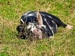 lazy pig (retrogoth) Tags: animal pig animalpark dumfries galloway monreith