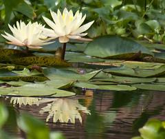 Lily Pad Flowers (erin mcc) Tags: gardens nikon nebraska omaha lilypads botanicalgarden lauritzengardens d40