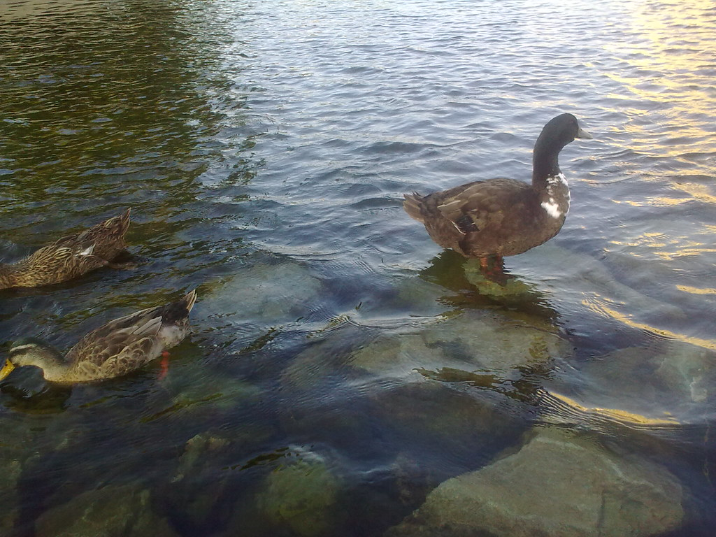 대구 신천둔치 청둥오리 가족 wild duck family at Sinchundunchi, Daegu #4