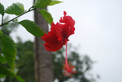 Hibiscus in National Park