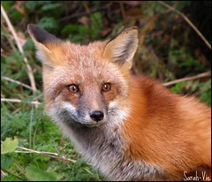 (Sarah-Vie) Tags: nature fox animaux fort renard parcriviresdesprairies