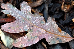 dew you love fall as much as I dew? (christiaan_25) Tags: autumn color fall droplets leaf oak october drop dew fallen veins