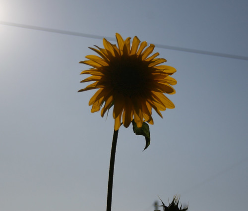 Sunflower in the sun 2