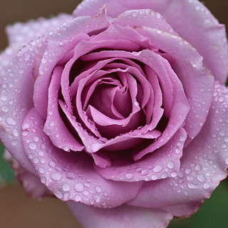 Pink Rose after the rain.