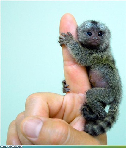 teeny baby marmoset clinging to a finger