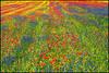 ...colored carpet... (zio paperino) Tags: flowers blue red italy green nature grass yellow fleurs nikon italia natura erba poppies fiori umbria castelluccio d90 ziopaperino mygearandme mygearandmepremium mygearandmebronze mygearandmesilver