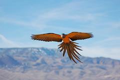 Landing Bird (Dave Womach) Tags: blue bird birds grey flying flight bob sedona parrot az landing macaw throat jinx parrots rd freeflying freeflight
