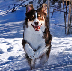 ~ Snow Lover ~ (ViaMoi) Tags: winter dog snow ontario canada smile canon fun photography spring jump play action ottawa joy run canadian freeze blueribbonwinner abigfave platinumphoto diamondclassphotographer citrit viamoi multimegashot 100commentgroup