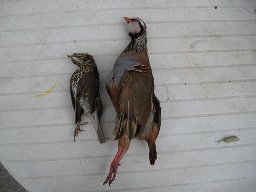 algumas fotos das minhas caçadas no meu mês de ferias 3183207110_e6017b3a2b