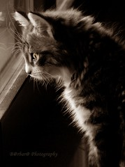 Profile (B@rbar@ (Barbara Palmisano)) Tags: light pet cute eye window animal sepia cat profile kitty finestra gato siberian gatto soe animale luce siberiancat pelo cateye profilo siberiano baffi orecchie tenerezza bej totalphoto passionphotography mywinners gattosiberiano