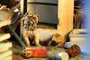 Grrrr. (thisisbrianfisher) Tags: old dog pet animal statue barn trash found fridge treasure antique brian teeth can gas tub figure fisher mean collar find bfish brianfisher thisisbrianfisher