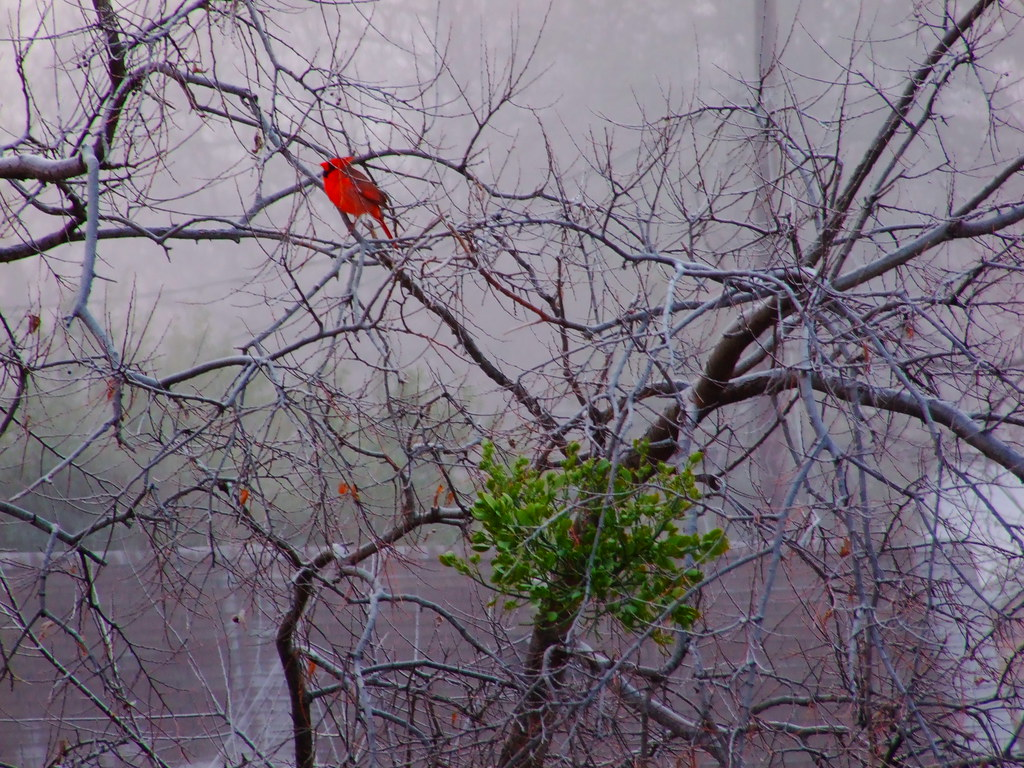 The Cardinal and Mistletoe