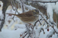 Icy White throated sparrow