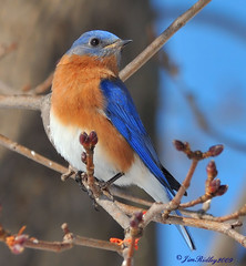 Eastern Bluebird (JRIDLEY1) Tags: blue winter sky tree bird maple bravo searchthebest easternbluebird cubism naturesfinest 80400vr supershot zenfolio mywinners platinumphoto colorphotoaward brightonmichigan nikond3 goldstaraward natureselegantshots goldenheartaward jridley1 jimridley dailynaturetnc09 httpjimridleyzenfoliocom photocontesttnc10 lifetnc10 jimridleyphotography photocontesttnc11 photocontesttnc12