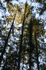 Western Pine