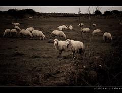 Sheep (Mario Cabras) Tags: sardegna animals landscape sardinia sheep terra paesaggi animali sardinien paesaggio pecore agro modelle pecora nuoro sardigna pastorizia silanus internationalflickrawards