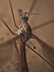 """Sonra por favor"" (retratos) (Isidr Cea) Tags: espaa macro spain galicia galiza mosquito bicho dptero arteixo raynoxdcr250 olympuse520 topazadjust chirinomidae"