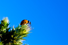 Preflight (Bobby Moon) Tags: blue sky orange white black green nature closeup lady contrast bug skies rocketman bugs ladybug natures blueblue