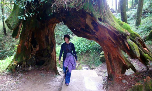 giant tree trail, alishan