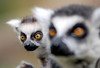 Ring tailed lemur (floridapfe) Tags: cute animal zoo monkey nikon everland 에버랜드 d80 anawesomeshot platinumheartaward rringtailedlemur