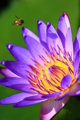 Wonderful Nature (dSLRartist) Tags: flowers white orchid nature purple orchids bee waterlillies dragofly