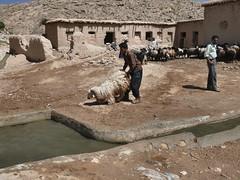 Naughty! (dynamosquito) Tags: water pool rural eau sheep iran farm iranian campagne ferme moutons nomads bassin fars marvdasht iranien panasoniclumixdmcfz50 iranianpeople qadamgah iraniannomads dynamosquito turcophone kuherahmat qhashkha
