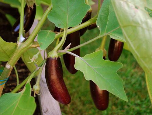 Last Days of Summer - eggplant