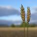 Spelt - skøn kornsort