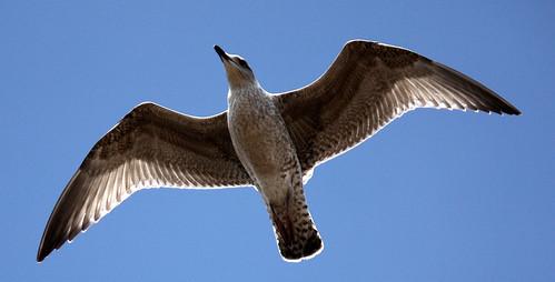Seagull baklit