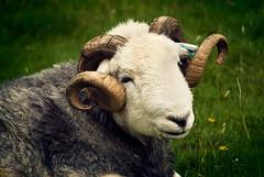 Natural Curls (GaryTumilty) Tags: flowers white green nature animal grey sheep lakedistrict horns curls curly ram vignette lakeland buttermere