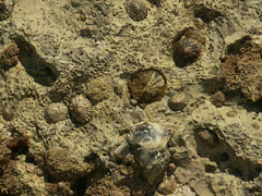 Seashells at low tide (imhalca) Tags: freshwaterbay august19