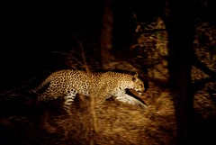 Leopard in Kruger National Park (Chris McLoughlin) Tags: holiday tree nature grass closeup southafrica wildlife sony nighttime leopard tamron krugernationalpark kruger highiso a300 70mm300mm jocksafarilodge sonya300 tamron70mm300mm sonyalpha300 alpha300 chrismcloughlin
