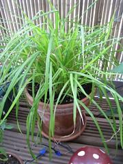 Grass (carex)