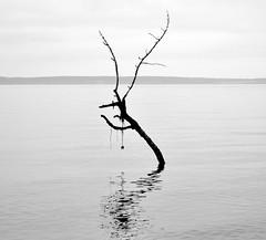 Branch Silhouette (mooshrimp) Tags: ocean blackandwhite bw seaweed reflection beach water silhouette washington weeds nikon waves branch dragon eerie creepy whidbeyisland mysterious hanging stick pugetsound algae d5000