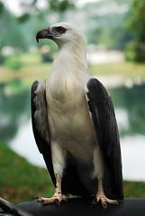[フリー画像] [動物写真] [鳥類] [猛禽類] [鷲/ワシ] [シロハラウミワシ]      [フリー素材]