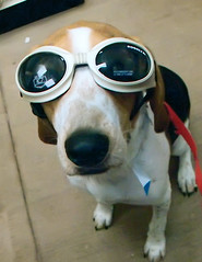 Floyd in doggles (Paguma / Darren) Tags: dog notmine goggles hound floyd doggles