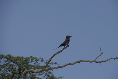 Lilac-breasted Roller - Selous Game Reserve, Tanzania