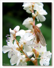 Insect ( Annieta  Off / On) Tags: autumn oktober white flower holland color nature fleur canon bug insect ilovenature fly herbst herfst nederland thenetherlands natuur powershot s2is fiori wit farbe colori canonpowershots2is 2009 couleur allrightsreserved bloem diptera kleur vlieg annieta abigfave inekt autonno buzznbugz themacrogroup theperfectphotographer beautifulmonsters naturescreations usingthisphotowithoutpermissionisillegal