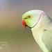 Periquito rabijunco - Psittacula Krameri - Rose-ringed Parakeet