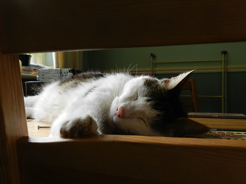 Oimo napping on the table