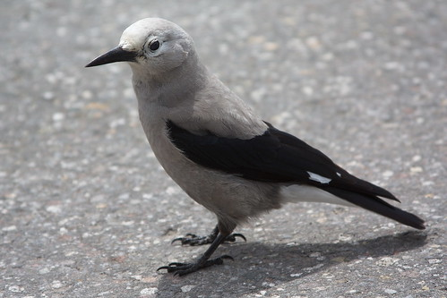 Clark's Nutcracker by The Bacher Family