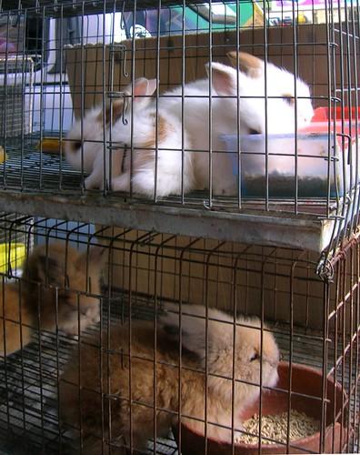 Thailand bunnies by Danalynn C