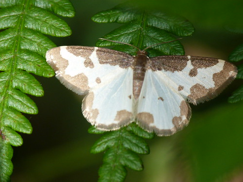 Clouded Border (Lomaspilis marginata) by Peter Orchard