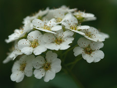 White Flowers (gripspix (OFF)) Tags: white flower nature closeup garden platinumphoto excellentsflowers