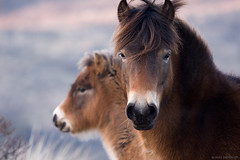 Mother and Child (Bastiaan Schuit) Tags: sunset wild horse holland nature canon child purple mother free mammals 70200 egmond happyfamily galope topshots exmoore aplusphoto flickraward onlythebestare thefinalcrown platinumheartaward natureselegantshots 100commentgroup panoramafotogrfico thebestofmimamorsgroups