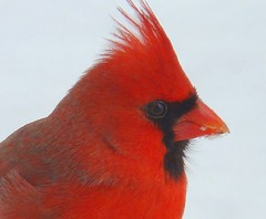 Close up icy cardinal