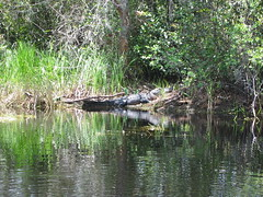 Alligator (Frank Kehren) Tags: canon georgia alligator swamp okefenokee canonpowershots45