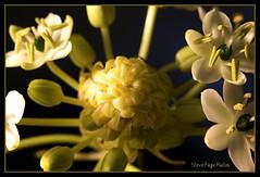 King of Hearts! (iTail ~ Steve Page) Tags: white black flower macro green yellow canon gold heart bokeh petal stamen bloom soe macrolens fantasticflower golddragon abigfave anawesomeshot theunforgettablepictures thatsclassy goldstaraward excapturemacro natureselegantshots 5dmarkii 5d2
