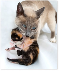 Maternal instinct (Fernando Felix) Tags: portrait pet cats cute topf25 face cat poser kitten bravo funny sweet beijo tabby mother kitty kittens gato gata tabbies graceful gatto gatti me maternal gatinho gatinhos instinct cowcat bsos firstquality 50faves flickrlovers