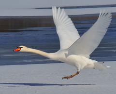 Mute Swan (JRIDLEY1) Tags: blue winter snow bird ice water best deer kensington soe bestofthebest muteswan 80400vr zenfolio abigfave anawesomeshot citrit nikond3 goldstaraward jridley1 jimridley photocontesttnc09 dailynaturetnc09 httpjimridleyzenfoliocom photocontesttnc10 lifetnc10 photocontesttnc11 photocontesttnc12